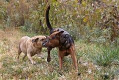 Perros mezclados pastor de la casta de Puggle y del boxeador Foto de archivo libre de regalías