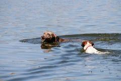Perros nadadores Fotos de archivo libres de regalías