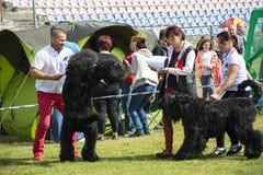 Perros negros grandes de la exposición canina Fotos de archivo