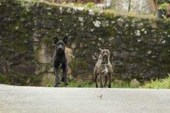 Perros negros y grises lindos foto de archivo libre de regalías