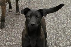 Perros negros y grises lindos foto de archivo