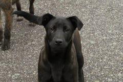Perros negros y grises lindos imagen de archivo