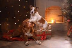 Perros Nova Scotia Duck Tolling Retriever y Jack Russell Terrier Christmas, Año Nuevo, días de fiesta y celebración Imagen de archivo libre de regalías