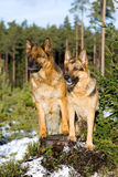 Perros pastor de Alemania Imágenes de archivo libres de regalías