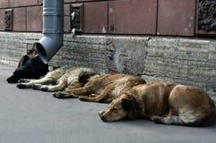 Perros perdidos Imagen de archivo libre de regalías