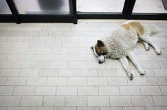 Perros perdidos que duermen en el piso Fotos de archivo libres de regalías