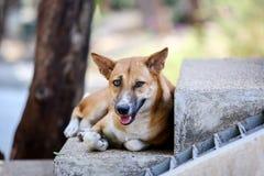 Perros perdidos tailandeses que mienten en las escaleras Fotos de archivo libres de regalías