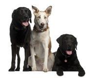Perros perdigueros de Labrador Fotografía de archivo
