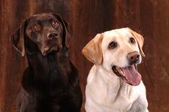 Perros perdigueros de Labrador en el fondo de Brown Foto de archivo libre de regalías