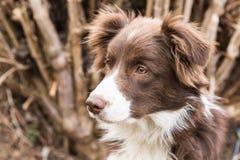 Perros perdigueros de oro Imagenes de archivo