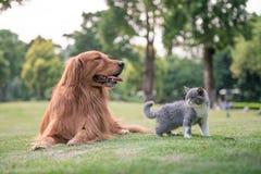 Perros perdigueros de oro y gatitos en la hierba Imagen de archivo