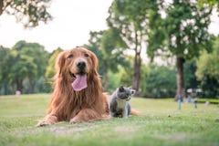 Perros perdigueros de oro y gatitos en la hierba Imágenes de archivo libres de regalías