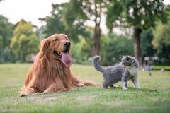 Perros perdigueros de oro y gatitos en la hierba Fotografía de archivo