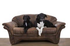 Perros perezosos Imagen de archivo libre de regalías