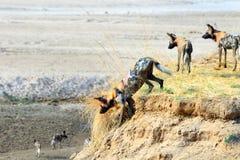 Perros pintados salvajes africanos que consiguen listos para saltar abajo del riverbank al belwo del valle en Luangwa del sur, Za Fotos de archivo libres de regalías