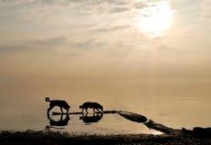 Perros por el mar en el amanecer Foto de archivo