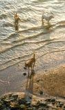 Perros que caminan en el mar con la luz de la puesta del sol Foto de archivo