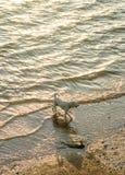 Perros que caminan en el mar con la luz de la puesta del sol Imagen de archivo libre de regalías