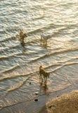 Perros que caminan en el mar con la luz de la puesta del sol Imágenes de archivo libres de regalías