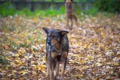 perros que corren en el camino del otoño Imagen de archivo