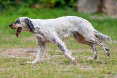 Perros que corren en el parque Imágenes de archivo libres de regalías