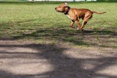 Perros que corren en el parque Foto de archivo libre de regalías