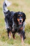 Perros que corren en el parque Fotografía de archivo libre de regalías