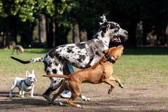 Perros que corren en el parque Fotos de archivo