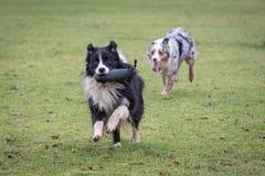 Perros que corren en yarda Foto de archivo libre de regalías