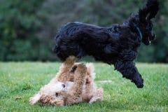 Perros que corren y que juegan Fotografía de archivo