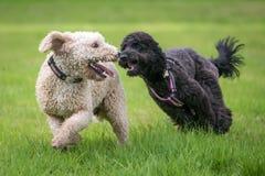 Perros que corren y que juegan imagen de archivo libre de regalías