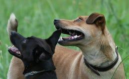 Perros/que cuentan con la galleta imágenes de archivo libres de regalías