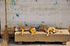 Perros que duermen en Varanasi, la India Fotografía de archivo libre de regalías