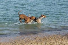 Perros que juegan búsqueda en una charca del parque del perro foto de archivo