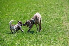 Perros que juegan con el palillo imagen de archivo