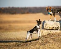 Perros que juegan con la bola fotos de archivo libres de regalías
