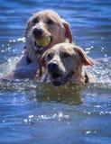 Perros que juegan en el lago Imagenes de archivo