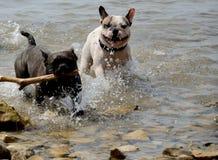 Perros que juegan en el mar Foto de archivo libre de regalías
