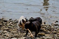 Perros que juegan en el mar Imagen de archivo libre de regalías
