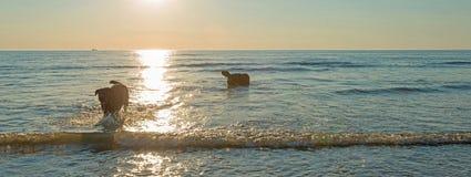 Perros que juegan en el mar en la puesta del sol Imagen de archivo libre de regalías