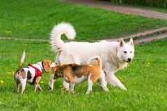Perros que juegan en el parque Imagen de archivo libre de regalías