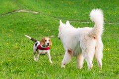 Perros que juegan en el parque Fotos de archivo libres de regalías