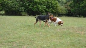 Perros que juegan en el prado en un d?a de veranos hermoso foto de archivo