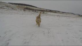 Perros que juegan en invierno almacen de metraje de vídeo