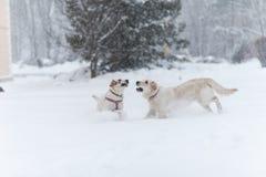 Perros que juegan en la nieve Foto de archivo libre de regalías