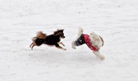 Perros que juegan en la nieve Imágenes de archivo libres de regalías