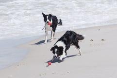 Perros que juegan en la playa Fotografía de archivo