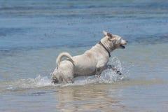 Perros que juegan en la playa en el mar foto de archivo