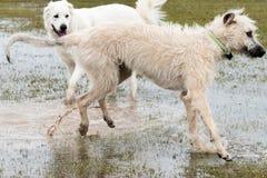 Perros que juegan en un dogpark inundado - perro lobo irlandés de trigo Imagen de archivo