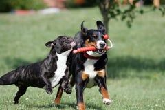 Perros que juegan salvajes Imagen de archivo